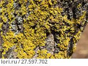 Купить «Yellow and gray lichens on tree bark», фото № 27597702, снято 19 октября 2018 г. (c) PantherMedia / Фотобанк Лори