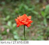 Купить «Red rose», фото № 27610038, снято 24 октября 2018 г. (c) PantherMedia / Фотобанк Лори