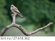Купить «Male Kestrel (Falco tunninculus) perched on a branch vocalising, holding prey, France, May.», фото № 27618362, снято 18 июля 2018 г. (c) Nature Picture Library / Фотобанк Лори