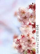 Купить «Sakura. Cherry Blossom in Taiwan. Beautiful Pink Flowers», фото № 27618654, снято 23 апреля 2018 г. (c) PantherMedia / Фотобанк Лори