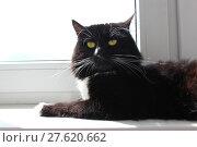 Купить «cat lays at the window», фото № 27620662, снято 20 июля 2018 г. (c) PantherMedia / Фотобанк Лори