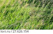 Купить «wild grass waving in strong wind in summer», видеоролик № 27626154, снято 13 июня 2017 г. (c) Володина Ольга / Фотобанк Лори