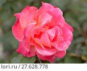 Купить «Damask rose - Rosa damascena», фото № 27628778, снято 22 марта 2019 г. (c) PantherMedia / Фотобанк Лори