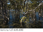 Купить «mangrove forest in australia», фото № 27635690, снято 22 июля 2019 г. (c) PantherMedia / Фотобанк Лори