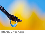 Купить «Flower refraction in a dew drop on a twig», фото № 27637686, снято 23 апреля 2018 г. (c) PantherMedia / Фотобанк Лори