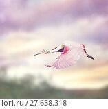 Купить «Roseate Spoonbill (Platalea ajaja)», фото № 27638318, снято 22 марта 2019 г. (c) PantherMedia / Фотобанк Лори