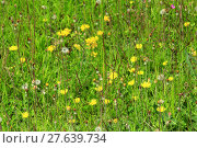 Купить «meadow flowers of Galium verum and Sonchus arvensis», фото № 27639734, снято 23 мая 2018 г. (c) PantherMedia / Фотобанк Лори
