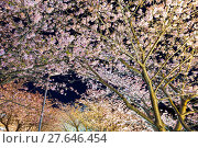Купить «Sakura tree at night», фото № 27646454, снято 23 апреля 2018 г. (c) PantherMedia / Фотобанк Лори