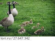 Купить «family bird birds geese familiy», фото № 27647342, снято 17 октября 2019 г. (c) PantherMedia / Фотобанк Лори