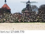Купить «golden plover in swarm», фото № 27649770, снято 15 октября 2018 г. (c) PantherMedia / Фотобанк Лори