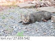 Купить «Thai cat laying down with relax post», фото № 27659542, снято 27 марта 2019 г. (c) PantherMedia / Фотобанк Лори