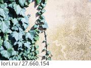 Купить «Ivy over wall», фото № 27660154, снято 22 сентября 2019 г. (c) PantherMedia / Фотобанк Лори