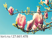 Купить «pink magnolia tree in fron of blue sky», фото № 27661478, снято 19 октября 2019 г. (c) PantherMedia / Фотобанк Лори