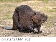 North American Beaver on ground. Стоковое фото, фотограф Christian Musat / PantherMedia / Фотобанк Лори