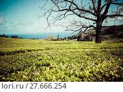 Купить «lonely tree on the mountain at beautiful landscape of tea plantation», фото № 27666254, снято 11 декабря 2018 г. (c) PantherMedia / Фотобанк Лори