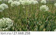 Купить «Allium stipitatum, Persian shallot», видеоролик № 27668258, снято 8 июня 2017 г. (c) BestPhotoStudio / Фотобанк Лори