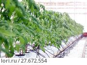 Купить «Growing cucumbers in a greenhouse», фото № 27672554, снято 5 февраля 2018 г. (c) Андрей Шалари / Фотобанк Лори