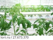 Купить «Growing cucumbers in a greenhouse», фото № 27673370, снято 5 февраля 2018 г. (c) Андрей Шалари / Фотобанк Лори