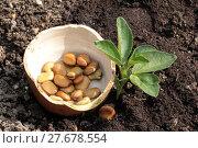 Купить «plant thick beans», фото № 27678554, снято 26 марта 2019 г. (c) PantherMedia / Фотобанк Лори