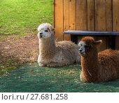 Купить «alpaca duo», фото № 27681258, снято 24 февраля 2018 г. (c) PantherMedia / Фотобанк Лори