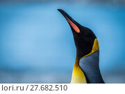 Купить «Close-up of king penguin with neck stretched», фото № 27682510, снято 22 апреля 2018 г. (c) PantherMedia / Фотобанк Лори