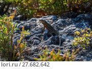 Купить «Lava lizard perched on rock in undergrowth», фото № 27682642, снято 16 января 2019 г. (c) PantherMedia / Фотобанк Лори