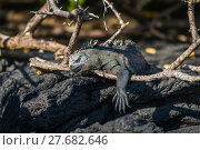 Купить «Marine iguana dangling leg over dead branch», фото № 27682646, снято 20 августа 2018 г. (c) PantherMedia / Фотобанк Лори
