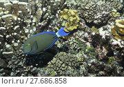 Купить «maldives harsh corals chirurgenfisch doktorfisch», фото № 27686858, снято 27 мая 2019 г. (c) PantherMedia / Фотобанк Лори