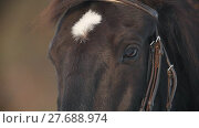 Купить «The face and eyes of the brown horse closeup, spot on his forehead», видеоролик № 27688974, снято 25 апреля 2018 г. (c) Константин Шишкин / Фотобанк Лори