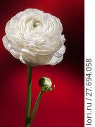 Купить «white buttercup flower», фото № 27694058, снято 20 марта 2019 г. (c) PantherMedia / Фотобанк Лори