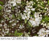 Купить «Weisse Apfelbaumblüten auf Hintergrund aus Holz als Stilleben », фото № 27699010, снято 23 мая 2019 г. (c) PantherMedia / Фотобанк Лори