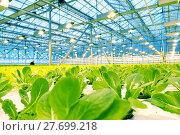 Купить «Growing cucumbers in a greenhouse», фото № 27699218, снято 5 февраля 2018 г. (c) Андрей Шалари / Фотобанк Лори