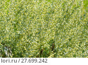 Купить «Полынь лимонная, или полынь лечебная, или полынь высокая (лат. Artemisia abrotanum)», фото № 27699242, снято 19 августа 2017 г. (c) Елена Коромыслова / Фотобанк Лори