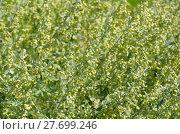 Купить «Полынь лимонная, или полынь лечебная, или полынь высокая (лат. Artemisia abrotanum)», эксклюзивное фото № 27699246, снято 19 августа 2017 г. (c) Елена Коромыслова / Фотобанк Лори