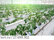 Купить «Growing cucumbers in a greenhouse», фото № 27699302, снято 5 февраля 2018 г. (c) Андрей Шалари / Фотобанк Лори