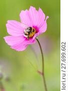 Купить «bumblebee bidens formos bombus magnus», фото № 27699602, снято 27 марта 2019 г. (c) PantherMedia / Фотобанк Лори