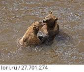 Купить «Young brown bears play in water», фото № 27701274, снято 8 июля 2013 г. (c) Валерия Попова / Фотобанк Лори