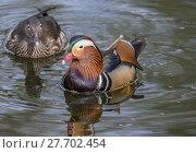 Купить «Pair of Mandarin Ducks», фото № 27702454, снято 16 июля 2019 г. (c) PantherMedia / Фотобанк Лори