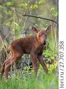 Купить «Young moose in the forest », фото № 27707358, снято 22 октября 2018 г. (c) PantherMedia / Фотобанк Лори