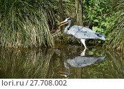 Купить «heron lurking», фото № 27708002, снято 27 мая 2019 г. (c) PantherMedia / Фотобанк Лори