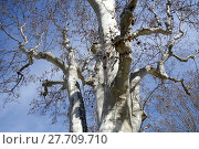 treetop a plane tree. Стоковое фото, фотограф Markus Hoetzel / PantherMedia / Фотобанк Лори