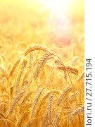 Купить «Ржаные колосья в лучах солнца», фото № 27715194, снято 7 августа 2017 г. (c) Икан Леонид / Фотобанк Лори