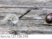 Купить «dandelion snail destroy engulf devour», фото № 27726318, снято 17 июля 2019 г. (c) PantherMedia / Фотобанк Лори