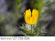 Купить «adonis vernalis adonisröschen frühlingsadonis frühlingsadonisröschen», фото № 27730926, снято 25 мая 2018 г. (c) PantherMedia / Фотобанк Лори