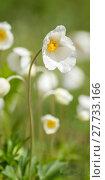 Купить «anemone anemoneae hahnenfußartige hahnenfußgewächse ranunculaceae», фото № 27733166, снято 20 апреля 2019 г. (c) PantherMedia / Фотобанк Лори