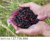Купить «Handful of wild black mulberries», фото № 27736866, снято 23 мая 2019 г. (c) PantherMedia / Фотобанк Лори