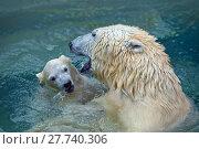 Купить «Bathing polar bears», фото № 27740306, снято 22 марта 2019 г. (c) PantherMedia / Фотобанк Лори