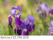 Купить «blue iris irises deutsche schwertlilie», фото № 27741010, снято 24 февраля 2018 г. (c) PantherMedia / Фотобанк Лори
