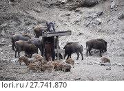 Купить «pig feed piglet frischlinge fütterung», фото № 27741870, снято 27 мая 2019 г. (c) PantherMedia / Фотобанк Лори