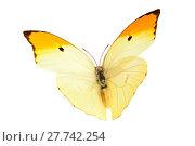 Купить «Butterfly (Anteos Menippe).», фото № 27742254, снято 14 декабря 2018 г. (c) PantherMedia / Фотобанк Лори